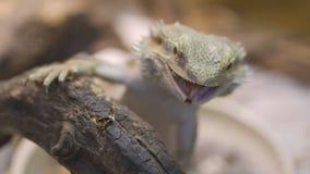 Jaszczurka łapie karakanu zbiory