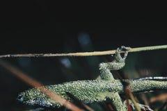 Jaszczurka fotografia stock