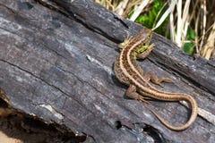 jaszczurka Zdjęcia Stock