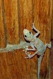 Jaszczurka Obraz Royalty Free