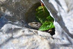 Jaszczurka Fotografia Royalty Free