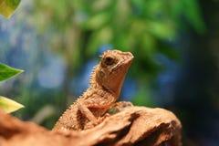 jaszczurka Zdjęcia Royalty Free