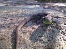 Jaszczurka zdjęcie royalty free