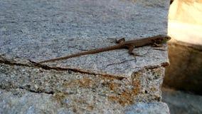 Jaszczurka Obrazy Stock