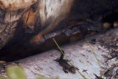 Jaszczurka Zdjęcie Stock