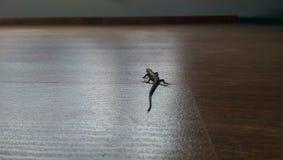 Jaszczurka Obrazy Royalty Free