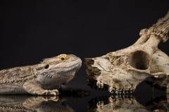 Jaszczurka, Agama, poroże, smok i czaszka, Obrazy Stock