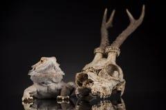 Jaszczurka, Agama, poroże, smok i czaszka, Fotografia Royalty Free