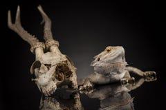 Jaszczurka, Agama, poroże, smok i czaszka, Zdjęcia Stock