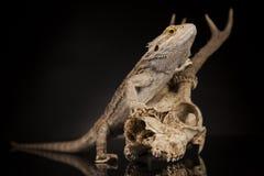 Jaszczurka, Agama, poroże, smok i czaszka, Zdjęcia Royalty Free