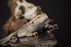 Jaszczurka, Agama, poroże, smok i czaszka, Zdjęcie Stock