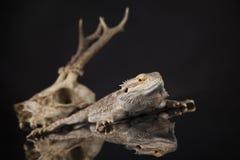 Jaszczurka, Agama, poroże, smok i czaszka, Fotografia Stock