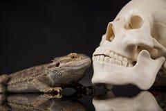 Jaszczurka, Agama, smok i czaszka, Obrazy Stock