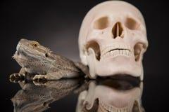 Jaszczurka, Agama, smok i czaszka, Obraz Stock