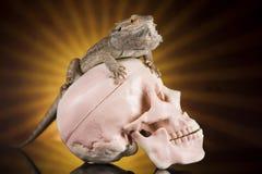 Jaszczurka, Agama, smok i czaszka, Obrazy Royalty Free