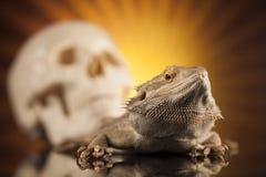 Jaszczurka, Agama, smok i czaszka, Zdjęcia Stock