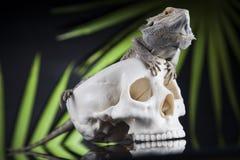 Jaszczurka, Agama, smok i czaszka, Fotografia Stock