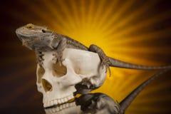 Jaszczurka, Agama, smok i czaszka, Obraz Royalty Free