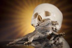 Jaszczurka, Agama, smok i czaszka, Fotografia Royalty Free