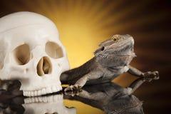 Jaszczurka, Agama, smok i czaszka, Zdjęcia Royalty Free
