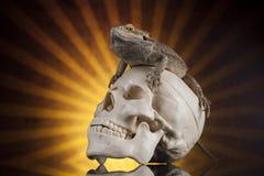 Jaszczurka, Agama, smok i czaszka, Zdjęcie Royalty Free