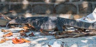 Jaszczurka aka Wodny monitor Zdjęcia Royalty Free