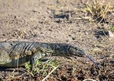Jaszczurka blisko wody chobe rzeka w Botswana obrazy stock