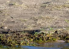 Jaszczurka blisko wody chobe rzeka w Botswana zdjęcie stock