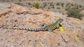 Jaszczurka - Boliwia Fotografia Stock