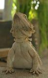 jaszczurka brodata smok Zdjęcia Royalty Free