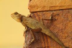 jaszczurka brodata smok Zdjęcie Royalty Free