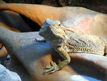Jaszczurka, brodaty smok fotografia royalty free