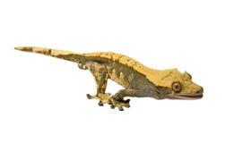 Jaszczurka czubaty gekon odizolowywający na białym tle Zdjęcia Royalty Free
