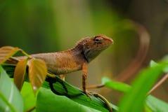 jaszczurka dzika Zdjęcie Royalty Free