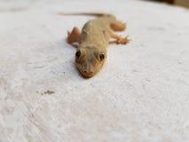 Jaszczurka gad Zdjęcie Stock