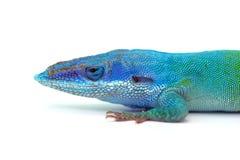 Jaszczurka gekon odizolowywający na bielu zdjęcia stock