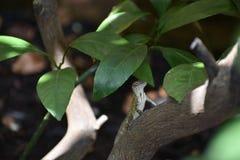 Jaszczurka houston texas fotografia stock