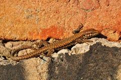 Jaszczurka i cegły Fotografia Royalty Free