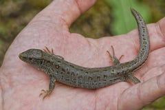 Jaszczurka & x28; Lacerta agilis& x29; na ludziach ręk Fotografia Stock