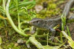 Jaszczurka & x28; Lacerta agilis& x29; w naturze Zdjęcia Stock
