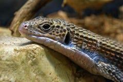 jaszczurka matrycujący Sudan Zdjęcie Stock