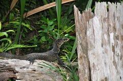 jaszczurka monitor Obraz Royalty Free