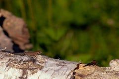 Jaszczurka na a Fotografia Royalty Free