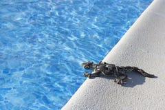 Jaszczurka na basenie obrazy royalty free