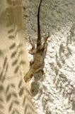 Jaszczurka na ścianie Zdjęcia Royalty Free