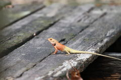 Jaszczurka na drewnianym moscie Zdjęcia Royalty Free