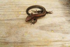 Jaszczurka na drewnianym tle Obraz Stock