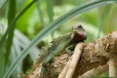 Jaszczurka na gałąź drzewo Zdjęcie Stock