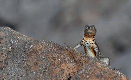 Jaszczurka na Galapagos wyspach Zdjęcia Royalty Free