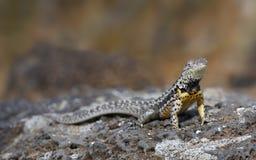 Jaszczurka na Galapagos wyspach Fotografia Stock